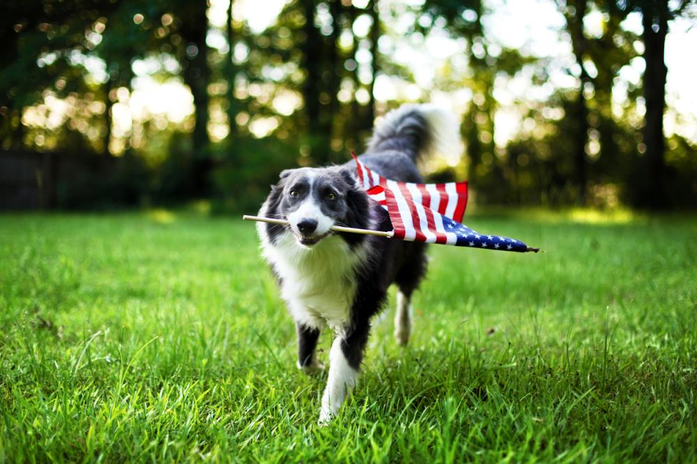 dog walking with American flag in mouth